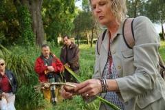 poireaux sauvages (comestible)