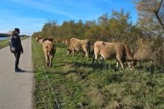 Les Aubrac sur la voie verte