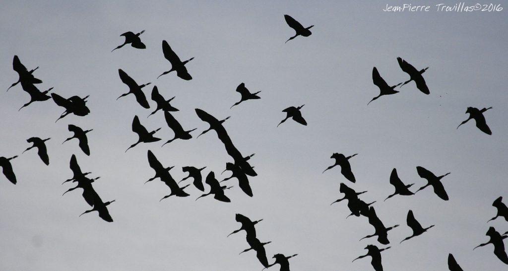 ibis-falcinelle-01