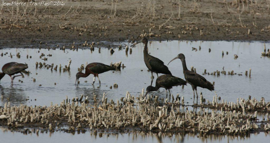 ibis-falcinelle-03