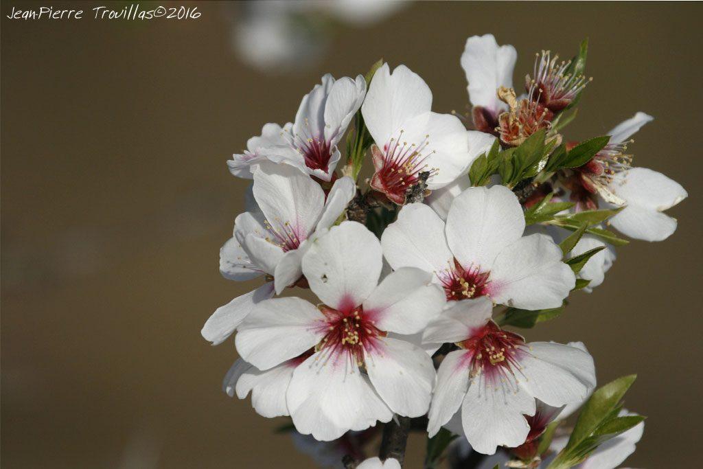 063-fleur.amandier
