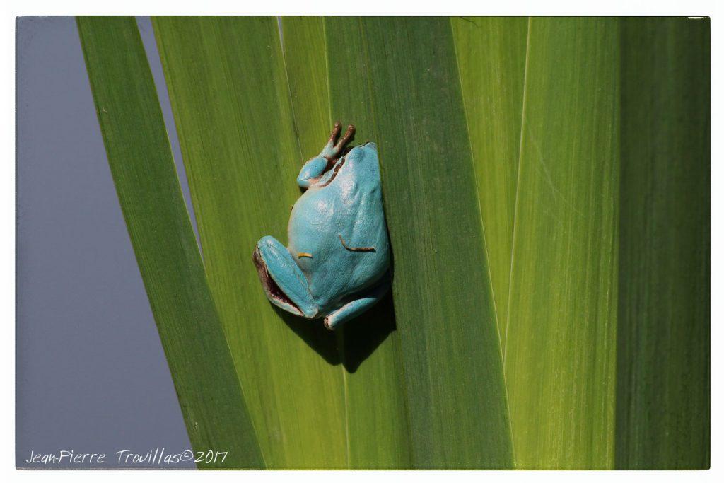 rainette-bleue-03