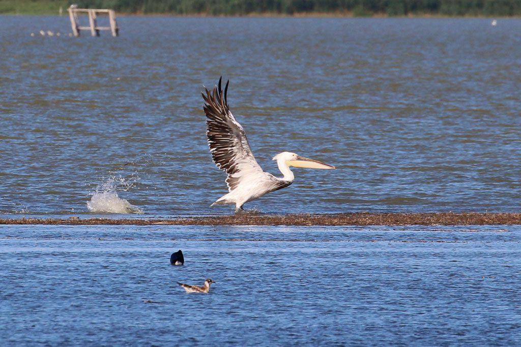 Pélican blanc x frisé sur l'étang du Carnier