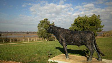 Virat , taureau cocardier de la manade Nicollin.